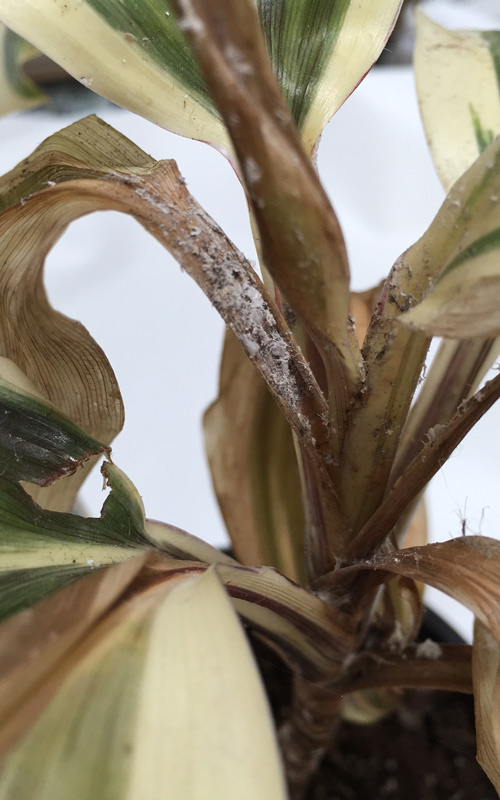 How To Get Rid Of Mealybug Kings Plant Doctor