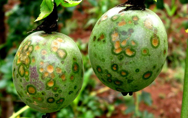 How to get rid of Passionfruit Spots | Kings Plant Doctor