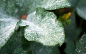 Powdery_mildew_on_pumpkin_leaves_1