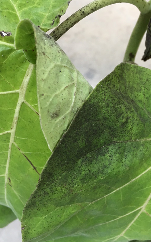 How To Get Rid Of Whitefly Kings Plant Doctor