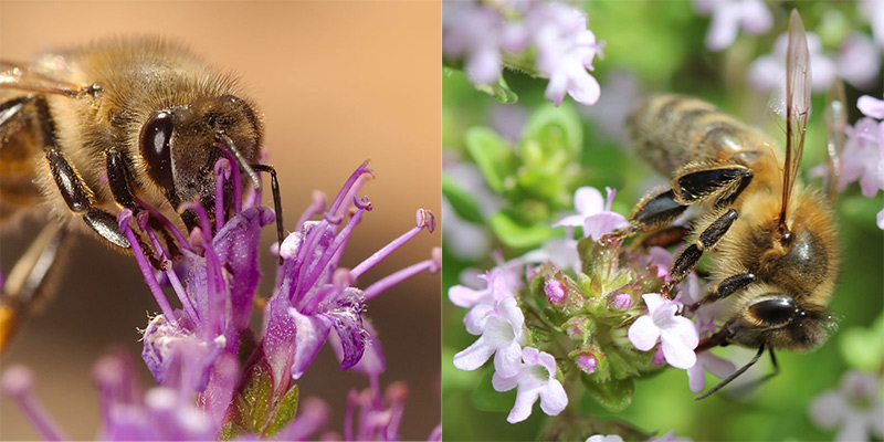 bees-on-thyme