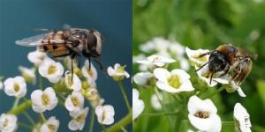hoverflies-alyssum