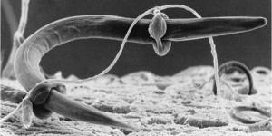 nematode-fungal-hyphae