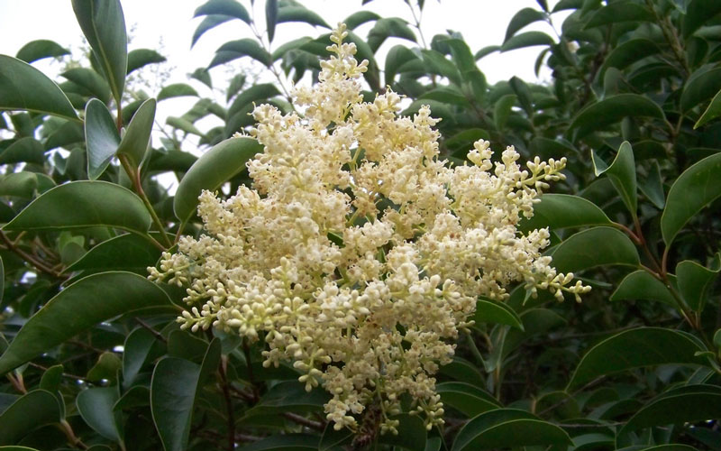 Privet tree allergy