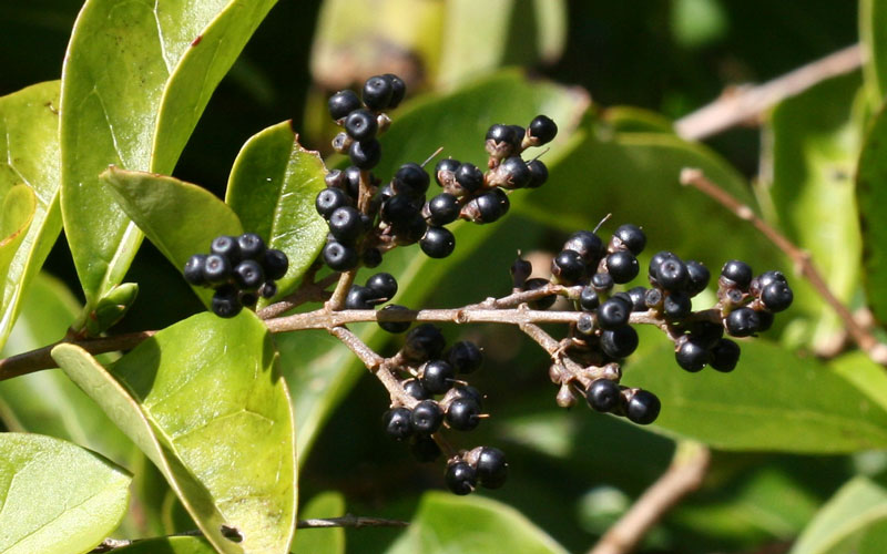 how to get rid of privet