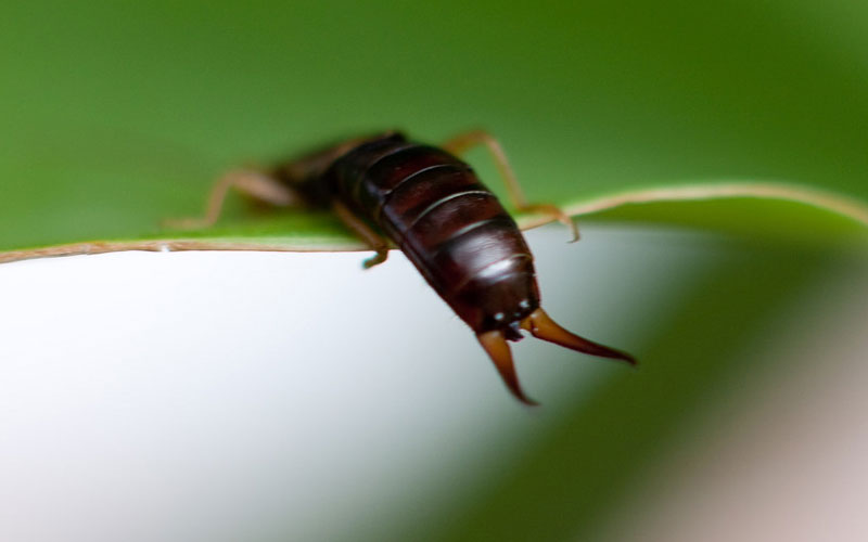 How to get rid of Earwigs | Kings Plant Doctor