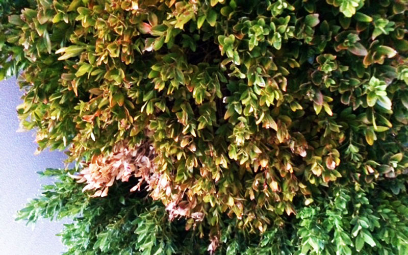 How To Get Rid Of Buxus Blight Kings Plant Doctor