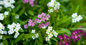 alyssum-for-web