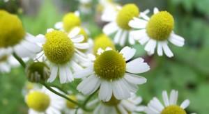 chamomile (c)  Toshiyuki IMAI (.flickr.com/photos/matsuyuki/505646025). CC BY-SA 2.0