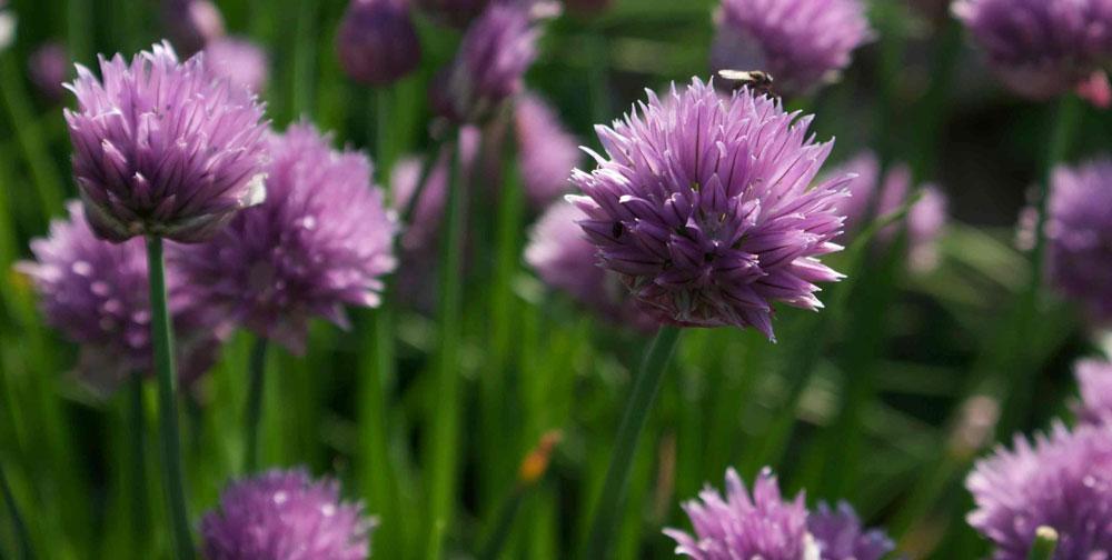 Companion Plants | Kings Plant Doctor Leek Companion Plants