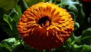 marigold-dsc00221