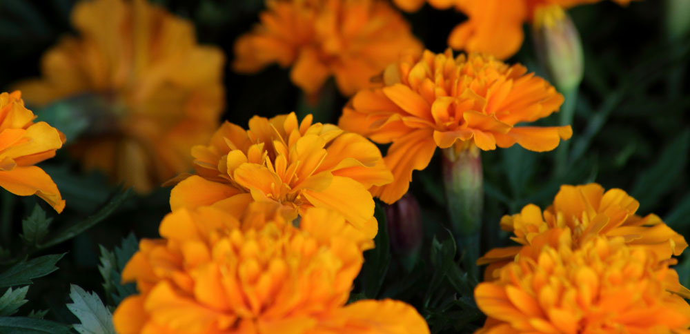 marigold-flowers-for-pd-site