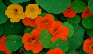 nasturtiums (c) wplynn (flickr.com/photos/warrenlynn/2649080415) CC BY-ND 2.0
