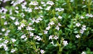 thyme (c) ennelise (pixabay.com/en/thyme-garden-plant-1421488) CCO